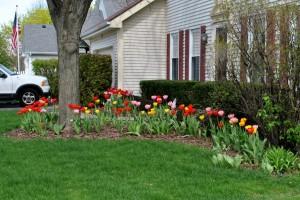 a tulips web